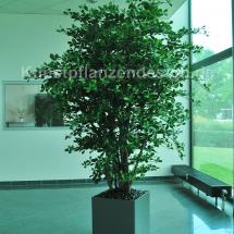 024_black_olivenbaum_h_260cm